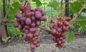 Характеристика винограда Мускат Розовый
