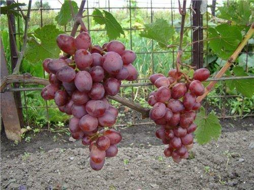 Виноград Мускат Розовый