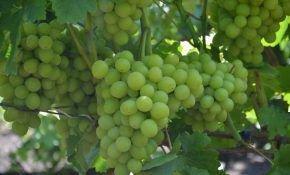 Виноград сорта Нельсон