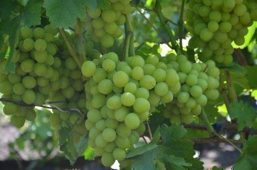 Сорт винограда Нельсон