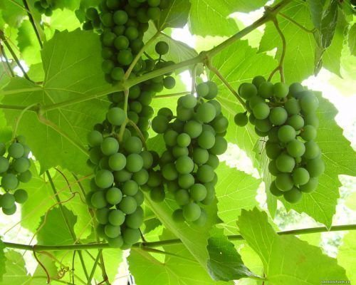 Незрелый виноград
