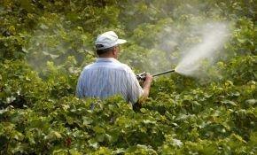 Защита винограда: химическая обработка
