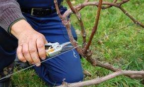 Советы и подсказки при подкормке винограда весной