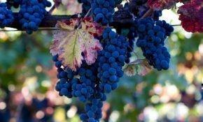 Сорт винограда Один