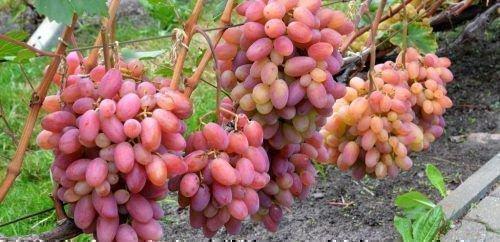 Окрашивание ягод винограда