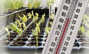 Рассада баклажан: температура выращивания