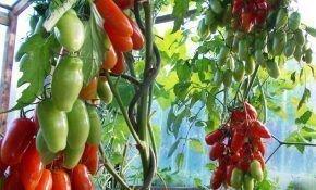 Когда лучше высаживать помидоры в теплицу из поликарбоната