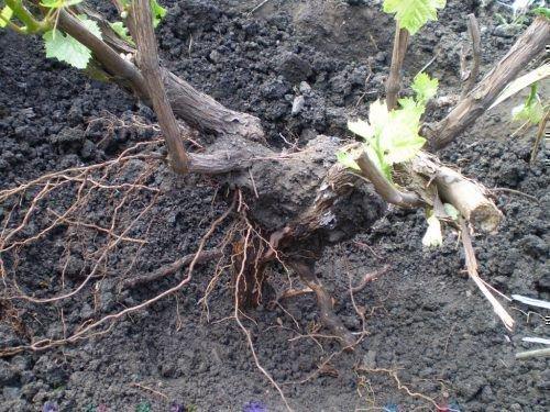 Виноградный куст с корнями