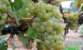 Шардоне – сорт винограда и вина