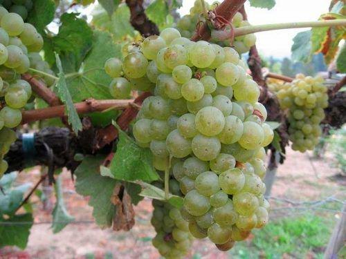 Гроздь винограда сорта Шардоне