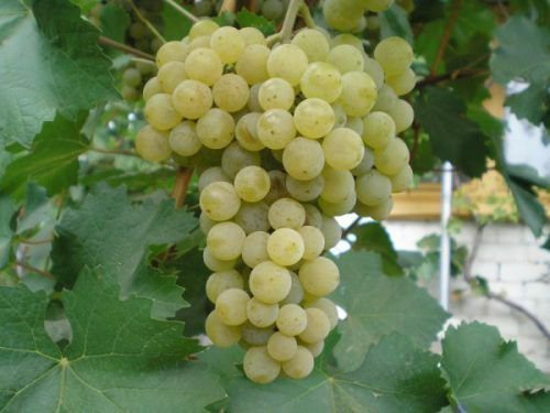 Виноград Подарок Магарача