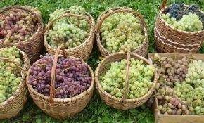 Значение параметра урожайности винограда с куста