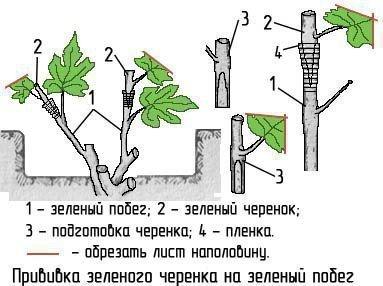 Прививка винограда в зелёный побег