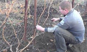 Обрезка винограда по весне