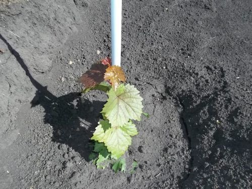 Прополка винограда весной