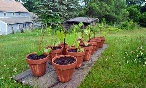 Как в домашних условиях выполнить размножение винограда черенками