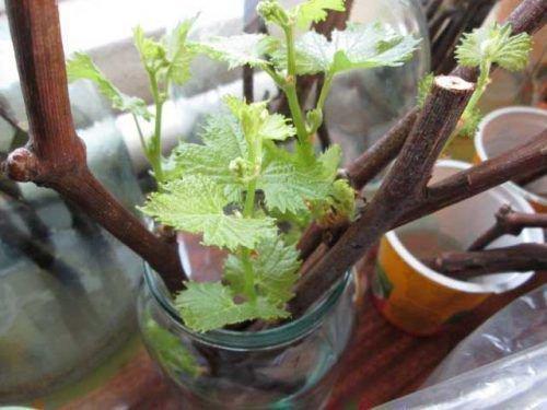 Размножение винограда зелёными черенками