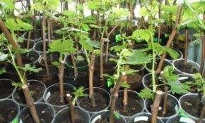 Методы размножения винограда черенками в домашних условиях