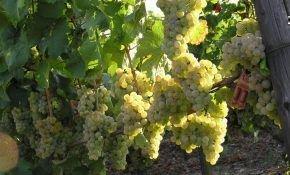 Виноградный сорт Рислинг