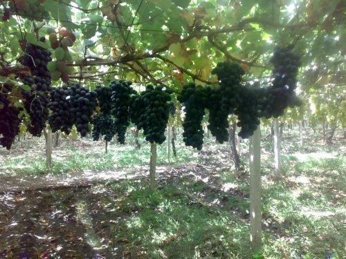 Урожай Ромбика