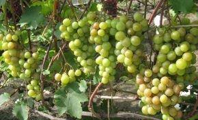 Описание сорта винограда Русвен