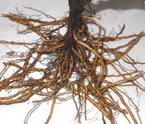 Саженец с открытыми корнями