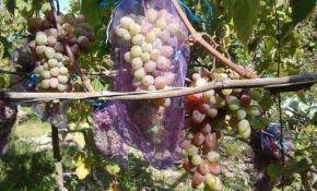 Разновидности сетки для винограда