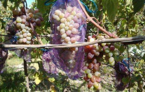 Покупная сетка для виноградной грозди