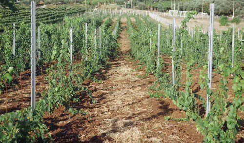 Шпалера для виноградного куста