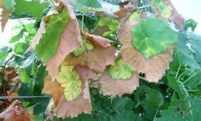 Листья винограда засыхают. Что делать?