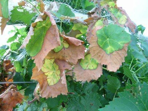 Сохнут листья винограда