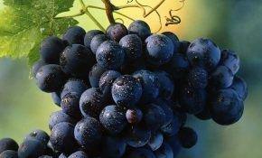 Симона — высокоурожайный, сильнорослый, вкусный сорт раннего винограда