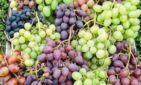 Период созревания разных сортов винограда