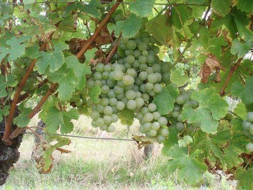 Старая виноградная лоза