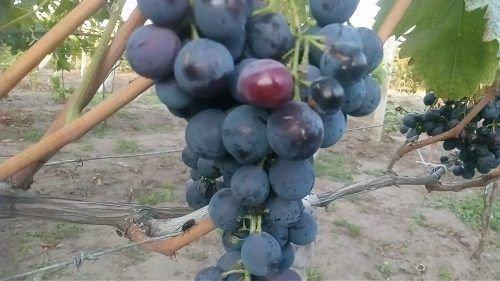 Сигнальная гроздь