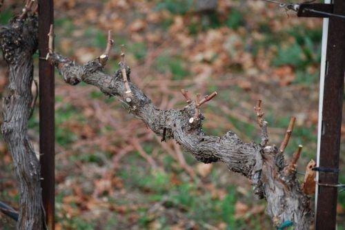 Обрезка винограда с сучками замещения