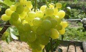 Гибридная форма винограда Супер Экстра