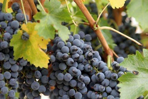 ТАН - 87 грозди