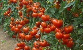 Какого числа необходимо высаживать помидоры?