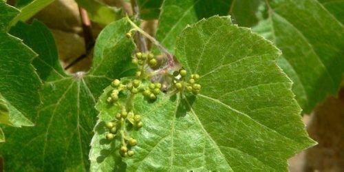 Удаление соцветий на винограде