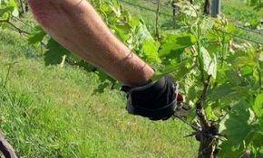 Уход за июньским виноградом