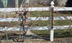 Чем и как обрабатывать виноград от болезней и вредителей до цветения