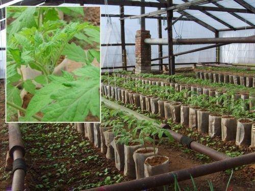 Вариант выращивания