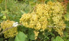 Какие сорта винограда считают сверхранними?