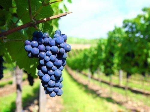 Виноград Алеатико