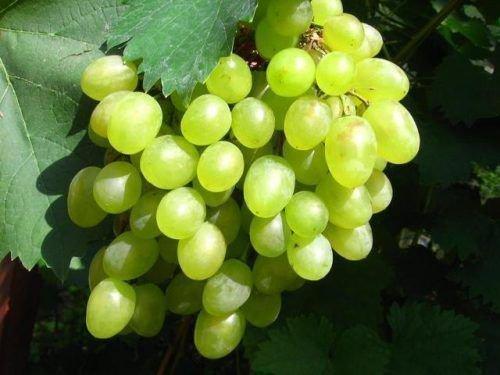 Спелая ягода винограда Алеша