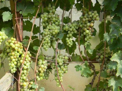 Грозди винограда сорта Русвен