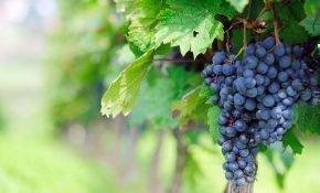 Виноград: сколько сахара в нем содержится