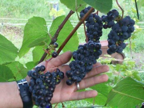 Винограда гроздь сорта Хасанский