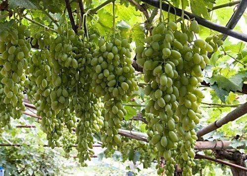 Виноград Хусайне